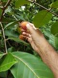 Planta de Rambootan foto de archivo libre de regalías