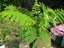 Planta de Regonix Gulmohar Imagens de Stock
