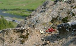 Planta de rocha pequena da montanha Imagem de Stock