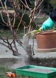 A planta de Rosa fertiliza e estaca Imagens de Stock