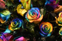 Planta de Rosa, flor colorido de Holambra Brasil fotos de stock royalty free