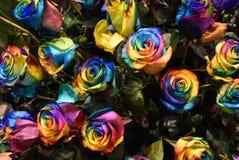 Planta de Rosa, flor colorido de Holambra Brasil imagens de stock