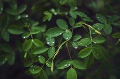 Planta de Rosa na chuva Foto de Stock