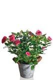 Planta de Rose en pote Foto de archivo
