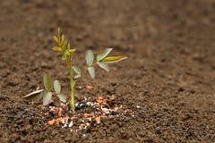 Planta de Rose en suelo fértil con el fertilizante químico Fotografía de archivo
