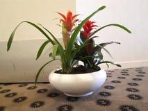 Planta de Rosemania Foto de Stock Royalty Free