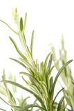 Planta de Rosemary Imagenes de archivo