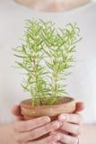 Planta de Rosemary Imagem de Stock Royalty Free