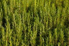 Planta de Rosemary Fotografia de Stock