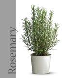 Planta de Rosemary en florero Imagenes de archivo
