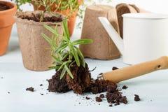 Planta de Rosemary y herramientas que cultivan un huerto imágenes de archivo libres de regalías