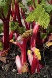 Planta de ruibarbo Fotos de archivo