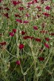 Planta de Salvia com flores Imagem de Stock
