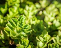 Planta de Sedum en el cierre del jardín para arriba Fotos de archivo libres de regalías