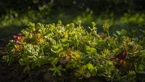 Planta de Sedum iluminada por raios do sol do amanhecer Foto de Stock