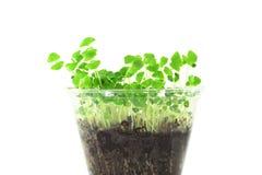Planta de sementes emergente do chia Fotos de Stock