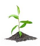 Planta de semillero Imagen de archivo libre de regalías