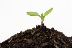 Planta de semillero Fotos de archivo libres de regalías