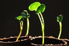 Planta de semillero contra fondo negro Fotos de archivo