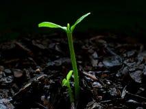 Planta de semillero de la fruta cítrica - día 2 Foto de archivo