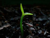 Planta de semillero de la fruta cítrica - día 1 Imagen de archivo libre de regalías