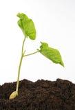 Planta de semillero de la haba contra blanco Fotografía de archivo