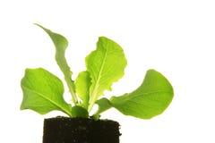 Planta de semillero de la lechuga Fotos de archivo libres de regalías