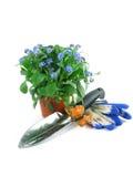 Planta de semillero de la nomeolvides fotos de archivo libres de regalías