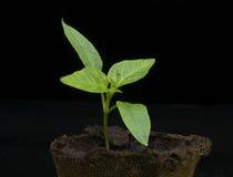 Planta de semillero de la planta Imágenes de archivo libres de regalías