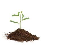 Planta de semillero de la planta Imagen de archivo libre de regalías