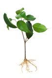 Planta de semillero del árbol de higo Imágenes de archivo libres de regalías