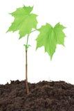Planta de semillero del arce Fotos de archivo libres de regalías