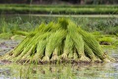 Planta de semillero del arroz Imágenes de archivo libres de regalías