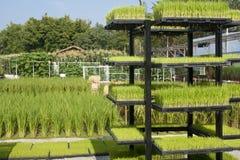 Planta de semillero del arroz en bandeja Foto de archivo libre de regalías