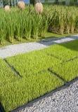 Planta de semillero del arroz en bandeja Imagen de archivo libre de regalías
