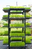 Planta de semillero del arroz en bandeja en estante Imagenes de archivo