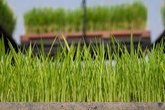 Planta de semillero del arroz en el rectángulo Fotografía de archivo libre de regalías