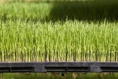 Planta de semillero del arroz en la bandeja Fotos de archivo