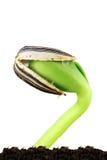 Planta de semillero del girasol Fotos de archivo