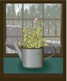 Planta de semillero del guisante dulce en una poder de riego Foto de archivo