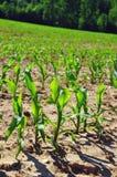 Planta de semillero del maíz Imagenes de archivo
