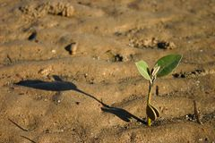 Planta de semillero del mangle fotografía de archivo