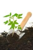 Planta de semillero del tomate en la paleta de jardín, aislada fotografía de archivo
