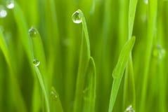 Planta de semillero del trigo Fotografía de archivo