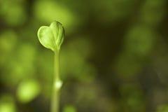 Planta de semillero en forma de corazón Foto de archivo