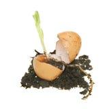 Planta de semillero en huevo Imágenes de archivo libres de regalías