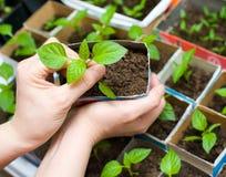 Planta de semillero en manos femeninas Imagen de archivo