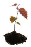 Planta de semillero en suelo Foto de archivo libre de regalías