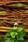 Planta de semillero en una cerca del sauce Foto de archivo