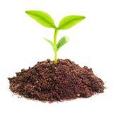 Planta de semillero joven Imagen de archivo libre de regalías
